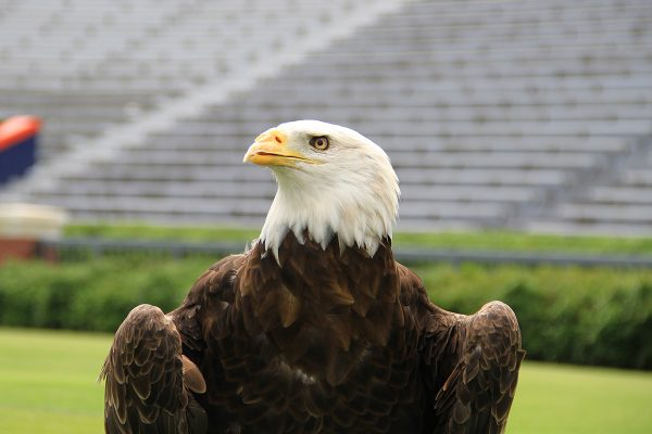 Auburn bald eagle